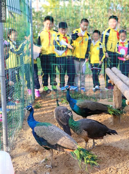 """青岛通济实验学校的小学生在""""校园动物园""""里观察孔雀."""